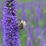 Ein Klassiker unter den Gärtnereibewohnern: Die Biene