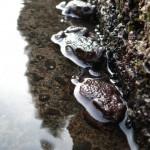Amphibische Invasion in unserer Regenwasserrinne (aufgenommen im Februar 2006)