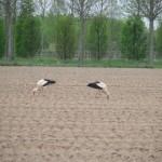 Störche auf dem benachbarten Feld (aufgenommen April 2007)