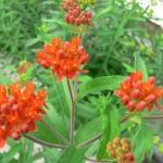 Asclepias tuberosa (Seidenpflanze)