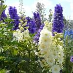 Delphinium (Rittersporn)