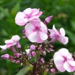 Phlox paniculata Hybriden (Flammenblume)